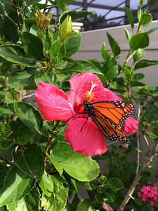 12_31_18 Monarch Butterfly Feeding