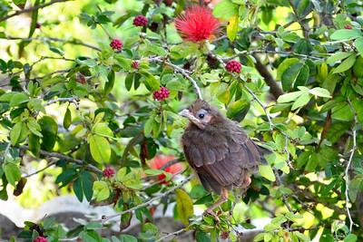 12_12_18 Fledgling Cardinal