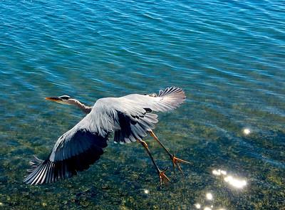 12_4_18 Great Blue Heron taking off