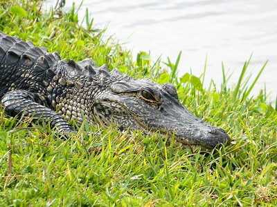 12_29_18 Alligator Sunbathing
