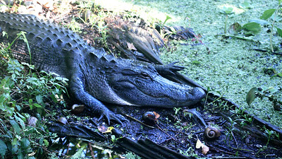 12_19_18 Chilled Out Gator