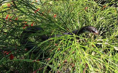 12_7_18 Snake lurking in the Firecracker bush
