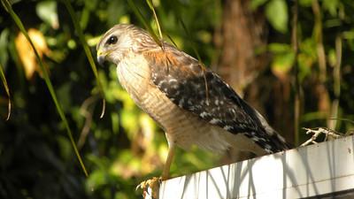 12_27_18 Red Shouldered Hawk