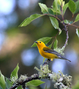 7_10_18 Prothonotary Warbler