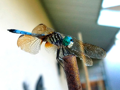 7_6_18 Back Yard Dragon Fly