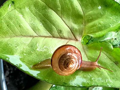 7_26_18 Snail Cruising on a Leaf