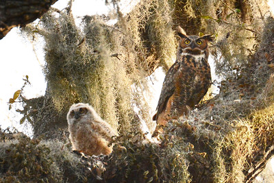 11_23_18 Great Horned Owl & Owlet