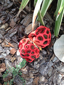 11_18_18 Red Cage Fungus