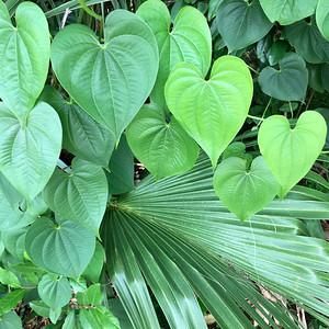 11_13_18 Pretty heart shaped leaves