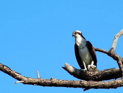 11_6_18 Osprey at Honeymoon Island State Park