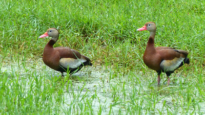 10_8_18 Black bellied Whistling ducks
