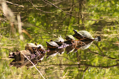 9_28_18 Turtle Refections on Hillsborough River