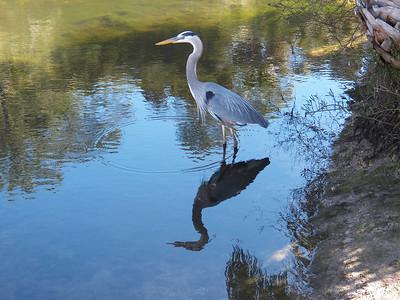 9_1_18 Blue Heron