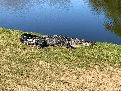 Alligator napping