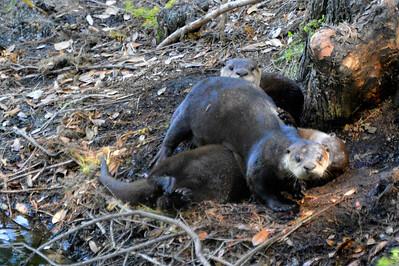 Playful otter family
