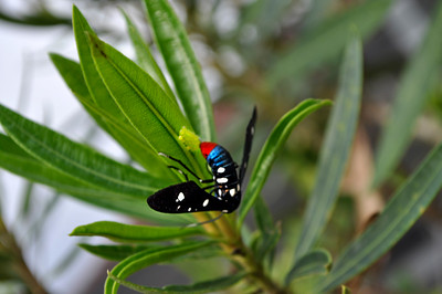 Polka-dot wasp moth laying its eggs on the Oleander