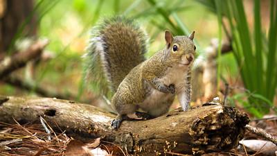 Patriotic Squirrel