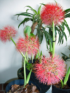 Blood Lilies