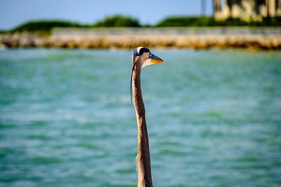 Heron Seeking Breakfast