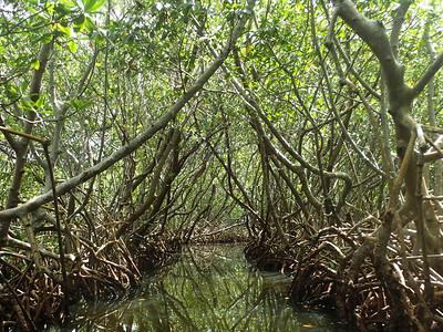 4_19_21 Weedon Island Mangroves Tunnels