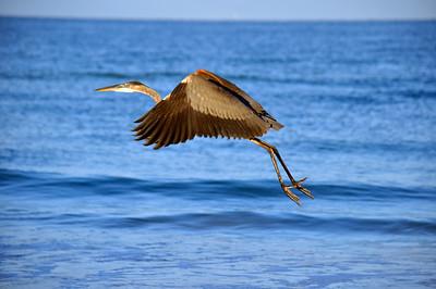 4_20_21 Great Blue Heron launch