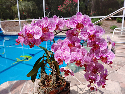 4_2_21 Phalaenopsis orchids that had 54 blooms