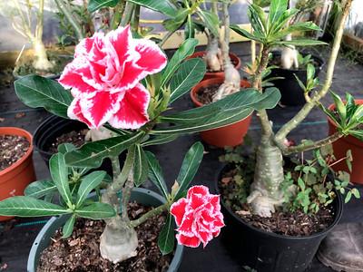 4_24_21 Blooming Adenium Obesum or Desert Rose