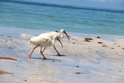 4_29_21 Two Ibis at Indian Rocks Beach