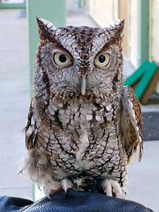 4_18_21 Screech Owl