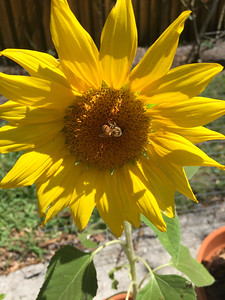 4_25_21 Bee enjoying backyard sunflower