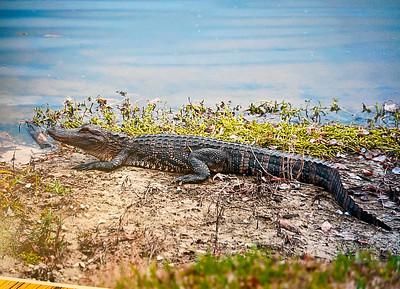 4_26_21 Neighborhood Alligator