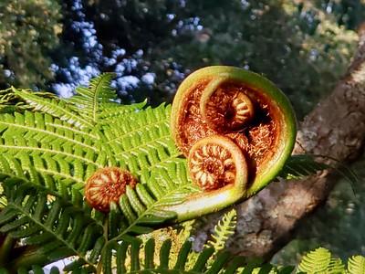 4_27_21 Australian Tree Fern frond unfurling