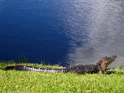 8_24_21 Gator was sunning himself on the grass