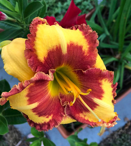 8_8_21 Day Lily