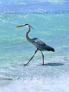 8_16_21 Heron on the beach