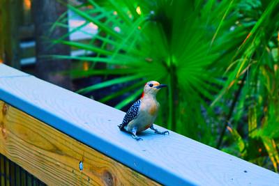 8_18_21 Red Bellied Woodpecker