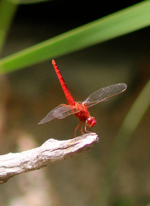 8_6_21 Chocothemis Erythraea, The Scarlet Dragonfly