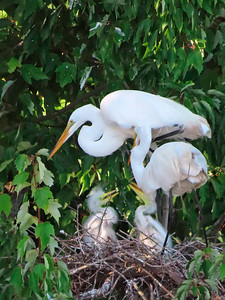 8_1_21 Family feeding time for the Egrets
