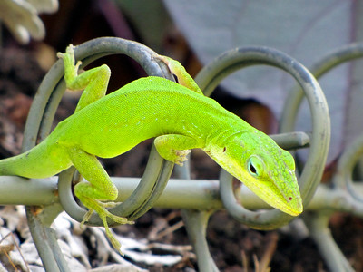2_3_21 Green Anole