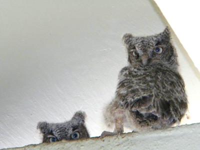 2_23_21 Baby Owls