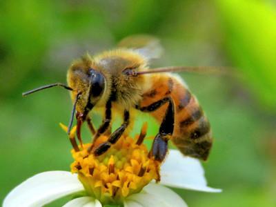2_4_21 Bee working the pollen fields