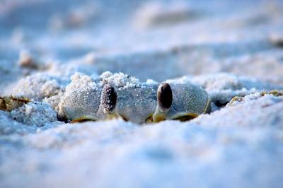 2_9_21 Buried crab of St  George Island