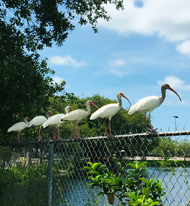 2_26_21 Young Ibis