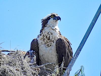 2_2_21 Alongside Morris Bridge Rd Osprey and Chick
