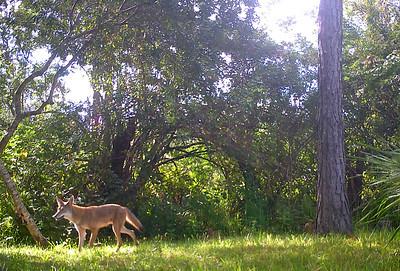 2_6_21 Coyote - hybrid