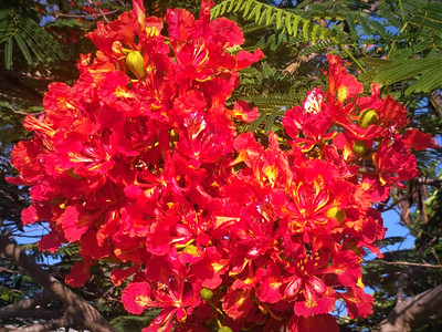 2_14_21 Flowering Royal Poinciana Tree