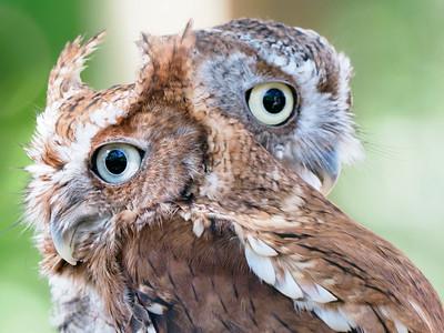 2_7_21 Two owls close-up at McGough Nature Park