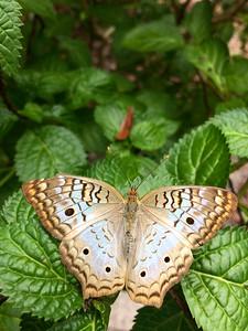 2_10_21 White Peacock Butterfly (Anartia jatrophae)
