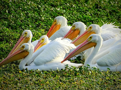 2_15_21 White Pelicans at Cresent Lake