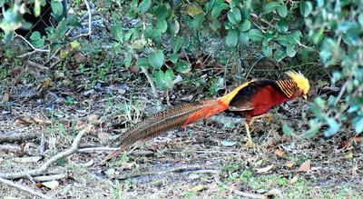 2_18_21 Golden Pheasant living in Largo
